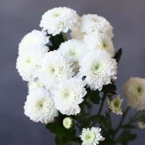 Хризантема Кокос - Фото 82