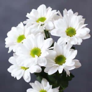 Хризантема кустовая - Фото 80