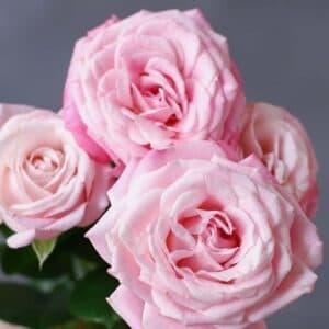Кустовая роза - Фото 100