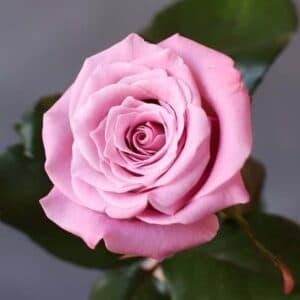 Роза Россия - Фото 94