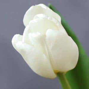 Тюльпан - Фото 86