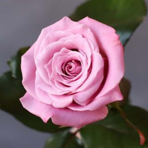 Роза Россия - Фото 93