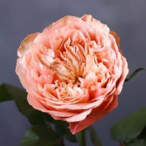 Садовая роза - Фото 87
